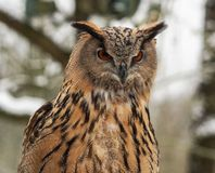 Europees-Aziatisch Eagle Owl, Bubo-bubo in een Duits aardpark royalty-vrije stock foto's