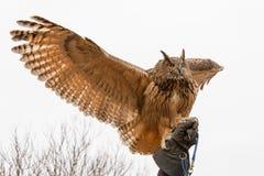 Europees-Aziatisch Eagle Owl Bubo Bubo in gevangenschap het uitspreiden vleugels streek op een valkenier` s hand neer, valkerij stock afbeelding