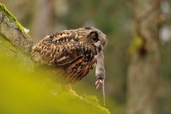 Europees-Aziatisch Eagle Owl die muis eten stock foto's