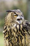 Europees-Aziatisch Eagle Owl Head Shot Royalty-vrije Stock Foto's