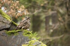 Europees-Aziatisch Eagle Owl met prooi Royalty-vrije Stock Foto's