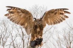 Europees-Aziatisch Eagle Owl met zijn uitgespreid vleugels die op falconer's worden neergestreken dient een handschoen in royalty-vrije stock foto's