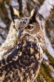 Europees-Aziatisch Eagle Owl op boomtak Royalty-vrije Stock Fotografie