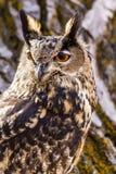 Europees-Aziatisch Eagle Owl op boomtak Stock Afbeelding