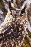 Europees-Aziatisch Eagle Owl op boomtak Stock Foto