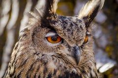 Europees-Aziatisch Eagle Owl op boomtak Stock Fotografie
