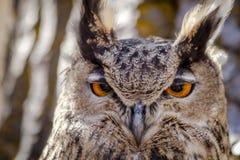 Europees-Aziatisch Eagle Owl op boomtak Royalty-vrije Stock Afbeeldingen