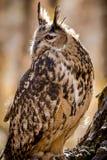 Europees-Aziatisch Eagle Owl op boomtak Stock Afbeeldingen