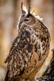 Europees-Aziatisch Eagle Owl op boomtak Royalty-vrije Stock Afbeelding