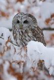 Europees-Aziatisch Tawny Owl die op de oranje eiken tak met sneeuw situeren stock fotografie