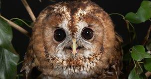 Europees-Aziatisch Tawny Owl, strix aluco, Portret van Volwassene, Normandië, stock footage