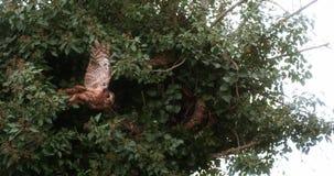 Europees-Aziatisch Tawny Owl, strix aluco, Volwassene die tijdens de vlucht, van Boom, Normandië opstijgen, stock footage
