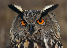 Europees-Aziatische adelaar-Uil royalty-vrije stock afbeelding