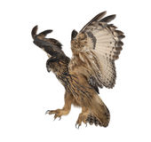 Europees-Aziatische adelaar-Uil, Bubo bubo, 15 jaar oud Stock Foto's