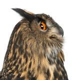 Europees-Aziatische adelaar-Uil, Bubo bubo, 15 jaar oud Stock Fotografie