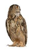 Europees-Aziatische adelaar-Uil, bubo Bubo royalty-vrije stock afbeelding