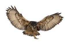 Europees-Aziatische adelaar-Uil, bubo Bubo stock afbeelding