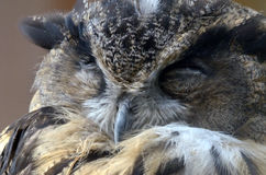 Europees-Aziatische adelaar-Uil (bubo Bubo) stock fotografie