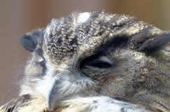 Europees-Aziatische adelaar-Uil (bubo Bubo) stock afbeelding