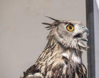 Europees-Aziatische adelaar-Uil, bubo Bubo Stock Foto