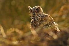 Europees-Aziatische adelaar-Uil - bubo Bubo Royalty-vrije Stock Foto's