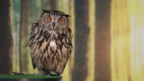 Europees-Aziatische adelaarsuil die en camera spreekt onderzoekt stock videobeelden