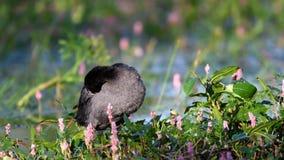 Europees-Aziatische atra die van Koetfulica zijn veren in een natuurlijke habitat gladstrijken stock footage