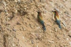 Europees-Aziatische bij-eter Merops apiaster royalty-vrije stock afbeeldingen