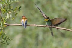 Europees-Aziatische bij-eter Merops apiaster royalty-vrije stock fotografie