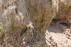 Europees-Aziatische bij-eter Merops apiaster stock afbeelding