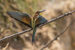 Europees-Aziatische bij-eter Merops apiaster stock fotografie