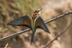 Europees-Aziatische bij-eter Merops apiaster royalty-vrije stock foto's