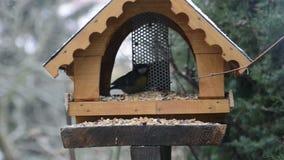 Europees-Aziatische blauwe caeruleus en de koolmees Parus van meescyanistes met specialisatie studeren op vogelvoeder af in de wi stock footage