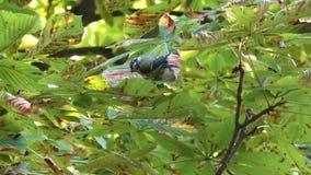 Europees-Aziatische blauwe mees in een boom stock videobeelden