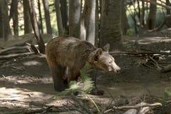 Europees-Aziatische bruin draagt Ursus-arctos in het bos stock foto