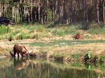 Europees-Aziatische bruine beren stock foto