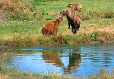 Europees-Aziatische bruine beren Royalty-vrije Stock Afbeeldingen