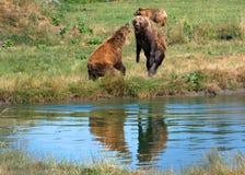 Europees-Aziatische bruine beren stock afbeeldingen