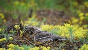 Europees-Aziatische burhinusoedicnemus van de steenwulp zit op het nest en maakt veren in de regen schoon stock videobeelden