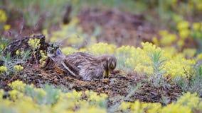 Europees-Aziatische burhinusoedicnemus van de steenwulp zit op het nest en raakt kleine stenen stock videobeelden