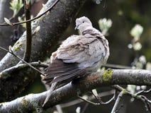 Europees-Aziatische collared duif of geringd Royalty-vrije Stock Afbeeldingen