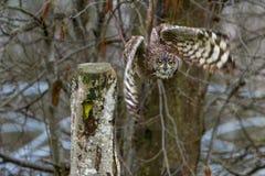 Europees-Aziatische Eagle Owl Bubo-bubo tijdens de vlucht stock afbeelding