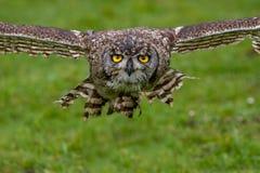 Europees-Aziatische Eagle Owl Bubo-bubo tijdens de vlucht stock foto
