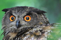 Europees-Aziatische Eagle-Uil stock fotografie