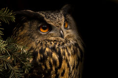 Europees-Aziatische Eagle-Uil royalty-vrije stock afbeelding