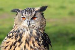 Europees-Aziatische Eagle-Uil/Bubo-bubo royalty-vrije stock foto's