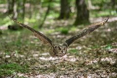 Europees-Aziatische Eagle-uil Bubo-bubonadruk royalty-vrije stock fotografie