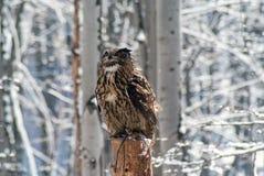 Europees-Aziatische Eagle-uil bubobubo stock afbeeldingen