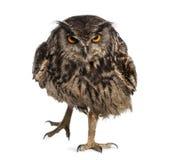 Europees-Aziatische Eagle-uil die (Bubo-bubo) lopen stock afbeelding