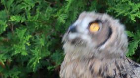 Europees-Aziatische Eagle-uil die omhoog eruit zien stock video